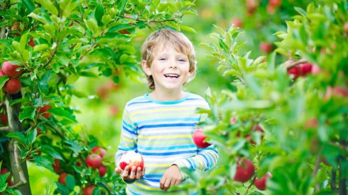 Kind pflückt Obst / Äpfel