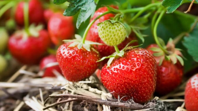 Erdbeerpflanze im Garten